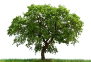 loan-oak-tree