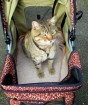 cat-in-trendy-stroller