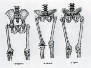 "chimp, ""Lucy"", modern human"