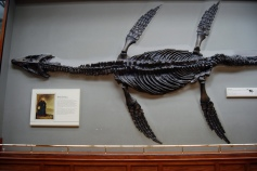 Plesiosaur fossil found by Mary Anning in 1821
