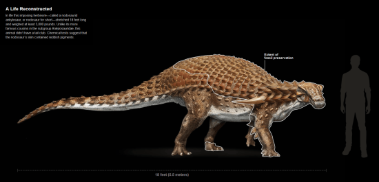 drawing of nodosaur compared to human natgeo